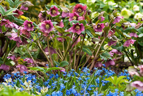 Helleborus x hybridus with Scilla sibirica -Siberian Squill in early Spring - © Richard Bloom/GAP Photos