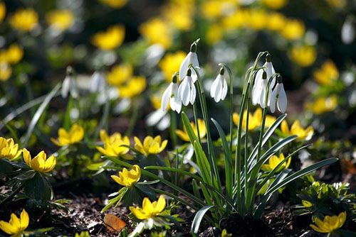 Galanthus nivalis with Eranthis hyemalis - © Martin Staffler/GAP Photos