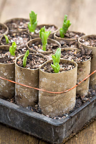 Broad Bean seedlings in recycled loo rolls - © Jonathan Buckley/GAP Photos