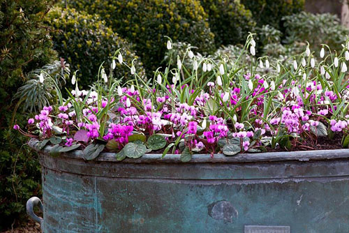 Large container planted up with Galanthus 'Atkinsii' and Cyclamen coum - © Jonathan Buckley/GAP Photos