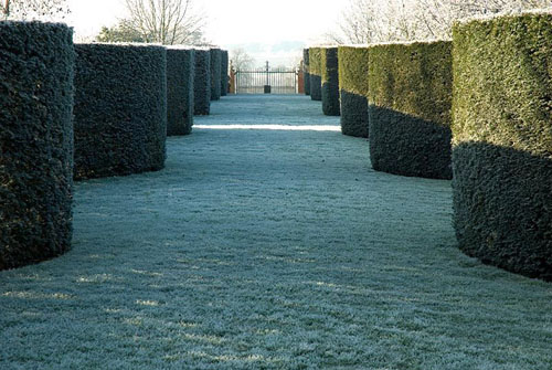 Serpentine Taxus - yew hedges leading to decorative iron gate with frost in December - © Zara Napier/GAP Photos