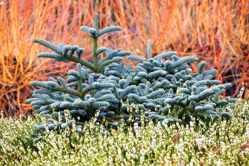 Abies procera Glauca Prostrata (Noble Fir) with Erica carnea Springwood White and Cornus sanguinea Midwinter Fire in background. The Winter Garden, Bressingham Gardens in February - © Richard Bloom/GAP Photos