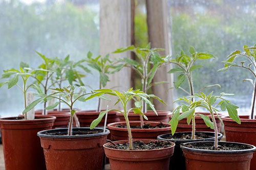 Young tomato plants in 9cm pots on greenhouse staging - © Gary Smith/GAP Photos