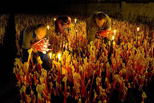 Harvesting Rhubarb 'Timperley Early' by candelight in the forcing shed at Oldroyds, Yorkshire - © Jonathan Buckley/GAP Photos