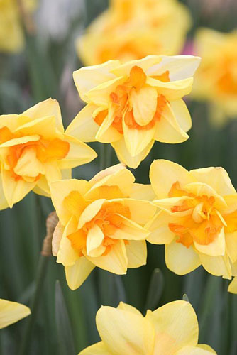 Narcissus 'Clear Day'