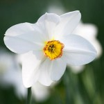Narcissus 'Actaea' growing in the grass at The Old Rectory