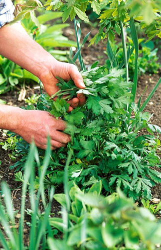 Pinching out the shoots of a herbaceous perennial in early summer to encourage bushy growth. The so called 'Chelsea Chop'
