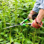 Cutting back Bergamot (Monarda 'Jacob Cline') with shears in early June to encourage later flowering and a shorter more compact habit, the so called 'Chelsea Chop'