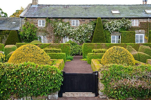 The Formal Garden at the front of the house featuring box and yew topiary - Buxus sempervirens 'Aureovariegata', Buxus sempervirens 'Suffruticosa' infilled with Dicentra formosa. Clipped ivy and white Clematis montana on the house - Herterton House, Hartington, Northumberland, UK  - © Carole Drake/GAP Photos