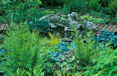 Summer border with Hosta Halycon, Hosta Krossa Regal, Rodgersia podophylla ,  Osmunda regalis, Geranium macrorrhizum Album and Carex elata Bowles -© Adrian Bloom/GAP Photos