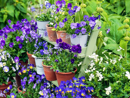 Collection of hardy, perennial violas, planted in pots, and displayed on shelves. Varieties include Fiona Lawrenson, Helen Dillon, Jennifer Andrews, Lucy, Columbine, Josie and Pat Kavanagh - © Nicola Stocken/GAP Photos