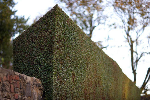 Privet hedge with very neat, sharp cut - © Matt Anker/GAP Photos