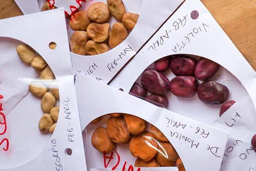 Phaseolus coccineus, various varieties of runner beans - stored in CD envelopes - © Gary Smith/GAP Photos
