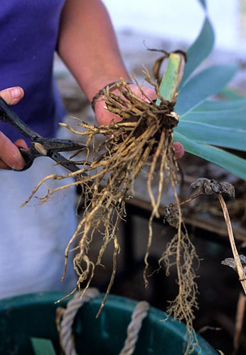 Trimming Iris roots at Woottens Nursery in Suffolk - © Juliette Wade/GAP Photos