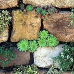 Sempervivums growing in a natural stone wall, RHS Chelsea Flower Show 2010