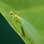 Chrysopa sp. - Green Lacewing on Fig leaf
