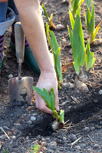 Planting of divided clumps of Irises as the same depth as before - © Elke Borkowski/GAP Photos