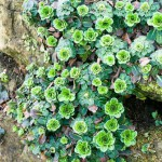 Saxifraga umbrosa on wall