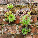 Sempervivums established on old red brick wall, Norfolk, UK, June