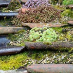 Sedums and Sempervivums grown for decorative effect on reclaimed Pantiles