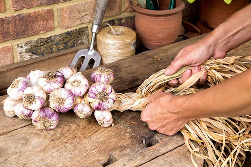 Step by step - Plaiting garlic 'Early Purple Wight' - © GAP Photos
