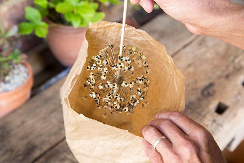 Harvesting Allium seeds - © GAP Photos