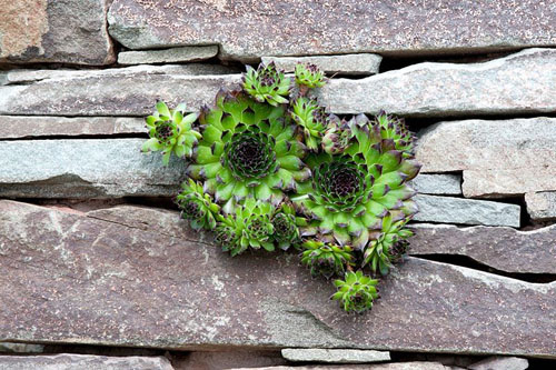 Sempervivum growing in dry stone wall