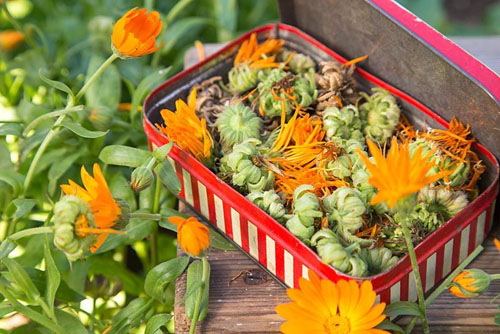 Collecting and storing seeds. Vintage case with Calendula seed heads - © GAP Photos