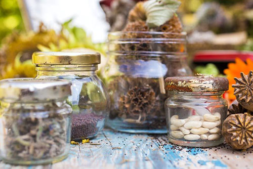 Collecting and storing seeds. A selection of flower seed heads and seeds stored in vintage containers. Including Phlomis, Papaver orientale - © GAP Photos