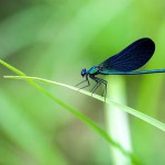 Calopteryx virgo - Male beautiful demoiselle, a blue damselfly