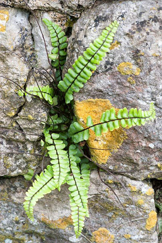 Asplenium trichomanes - Maidenhair spleenwort growing in a wall