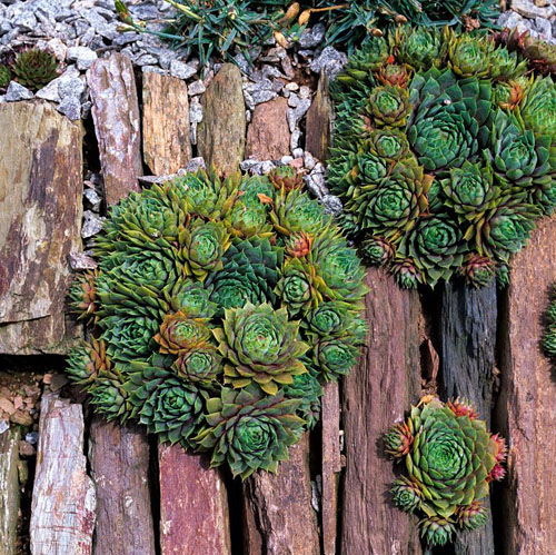 Sempervivum - Shards of slate and local stone laid vertically, with earth compressed between, and planted with sempervivum.