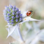 Eryngium maritimum with ladybird, July, Thorpeness beach, Suffolk