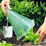 Protecting young newly planted Lettuce plants with plastic cloches