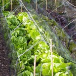 Row of lettuces protected by glass cloches