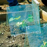 Make shift cloches made from panes of glass protecting vegetables