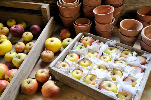 Storing apples, stored in wooden trays, with tissue to protect against rot transmission, in frost free shed - © Gary Smith/GAP Photos