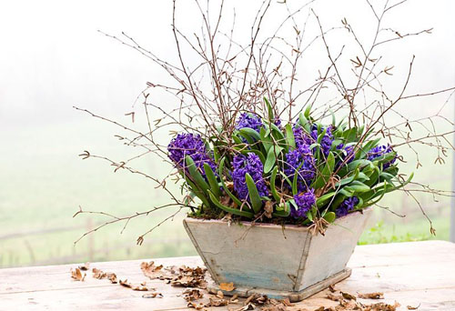 Hyacinthoides 'Peter Stuyvesant' - Forced hyacinths in a wooden container - © Jonathan Buckley/GAP Photos