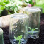 Protecting seedling with glass jars