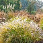 Pennisetum alopecuroides 'Moudry' - Ornamental Grasses - RHS Wisley