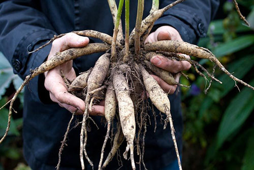 Lifting and storing Dahlia 'David Howard' for winter - © GAP Photos