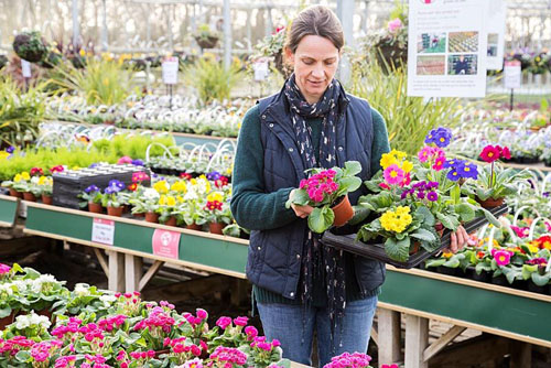 Woman selecting mixture of Primula and Polyanthus within a garden nursery - © GAP Photos