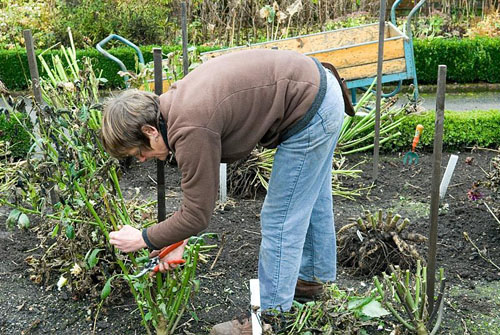 Cutting back the dahlia stems before lifting the tubers from the ground - © Jacqui Hurst/GAP Photos