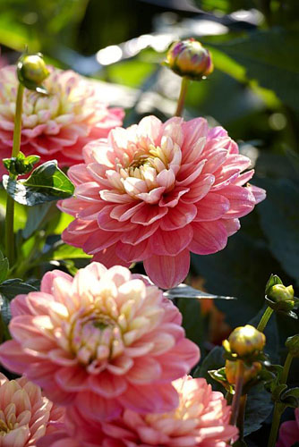 Dahlia 'Melody Allegro' - © Visions/GAP Photos