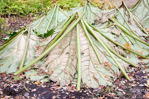 Gunnera manicata used as winter protection - © Elke Borbowski/GAP Photos