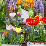 Outdoor spring display - tulips, syringa, muscari, cow parsley, forget me nots. Wisteria climbing against wooden fence.