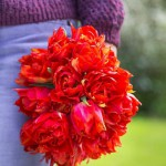 Woman carrying bunch of freshly cut Tulipa 'Abba'