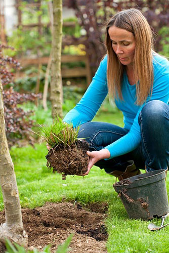 Creating a new perennials border under apple trees. Woman planting Pennisetum alopecuroides - © Robert Mabic/GAP Photos