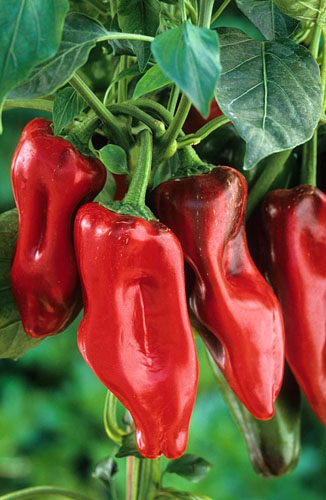 Chili Peppers 'Marconi Rosso'