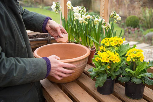 Step by Step container planting of Narcissus 'Bridal Crown' and Primula veris - © GAP Photos